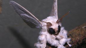 Venezuelan Poodle Moth (Dot-lined White (Artace cribraria))