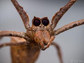 Ogre-Faced Spider (Deinopis spinosa)