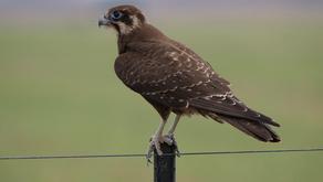 The Brown Falcon (Falco berigora)