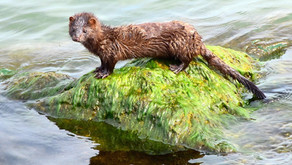 Coronavirus Claims Lives of Thousands of Minks