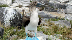 The Blue-footed Booby (Sula nebouxii)