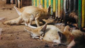 The Fennec Fox (Vulpes zerda)