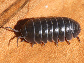 Roly Polies (Armadillidiidae)