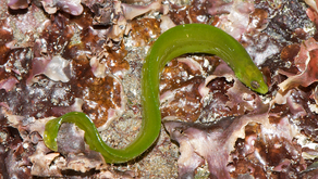 The Rockweed Gunnel (Apodichthys fucorum)