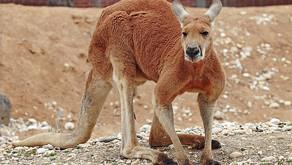 Red Kangaroo (Macropus rufus  )