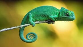The Chameleon (Chamaeleonidae)