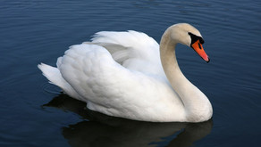 The Mute Swan (Cygnus olor)