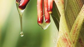 Olotón, The Nitrogen Fixing Corn from Mexico