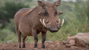 The Warthog (Phacochoerus)