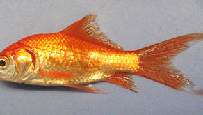 The Goldfish (Carassius auratus)