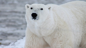 The Polar Bear (Ursus maritimus)