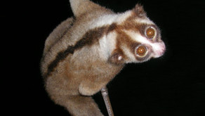 Javan Slow Loris (Nycticebus javanicus)