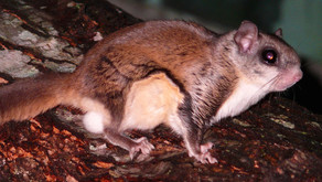 The Flying Squirrel (Glaucomys volans)