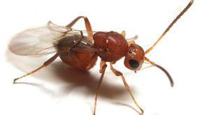 Hedgehog Gall Wasp (Acraspis erinacei)