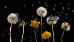 The Dandelion (Taraxacum officinale)