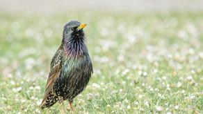 The Common Starling (Sturnus vulgaris)