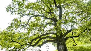 The White Oak (Quercus alba)