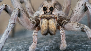 The Wolf Spider (Lycosidae)