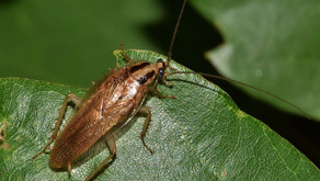 The American Cockroach (Periplaneta americana)
