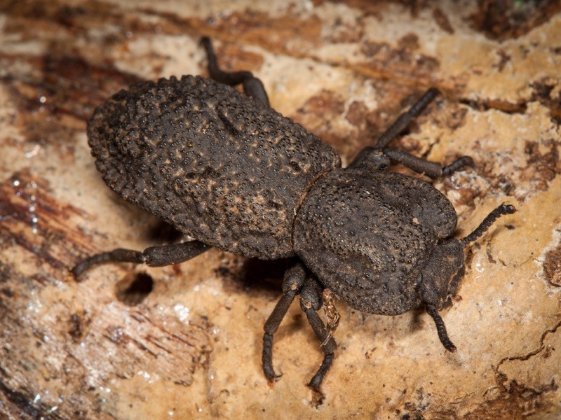 A gray beetle with bumps and rudges that looks like iron