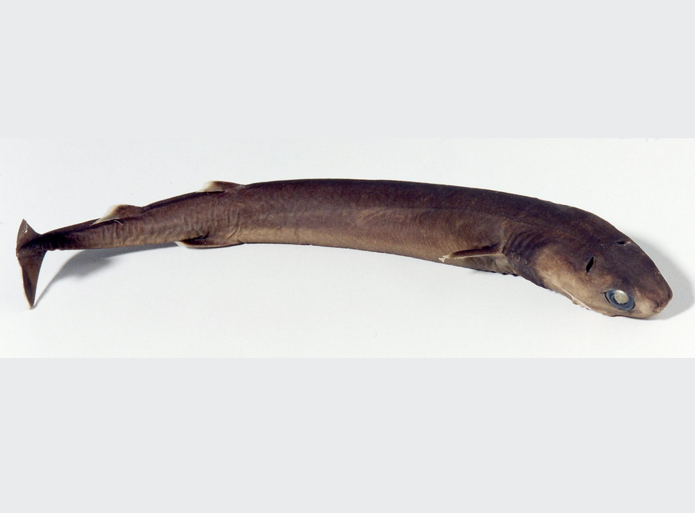 A cookie-cutter shark specimen laying on a white background with cloudy eyes