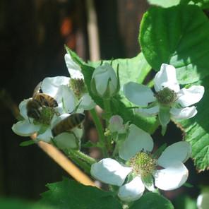 Kielomäki_karhunvattu_mehiläiset