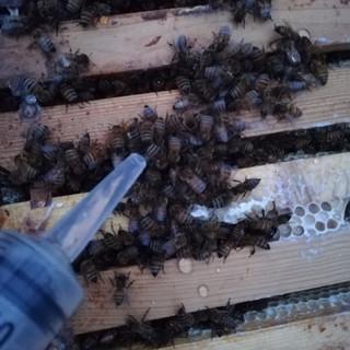 Kielomäki_oksaalihapotus_mehiläiset