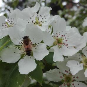 Kielomäki_omenankukka_mehiläiset