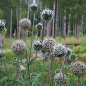 Kielomäki_valkopallo-ohdakkeet_mehiläinen