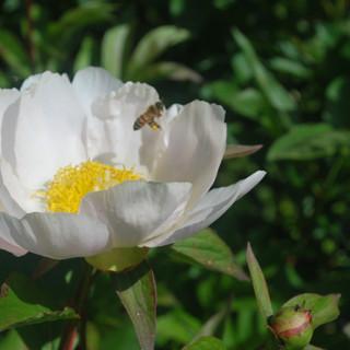 Kielomäki_siitepölyvasu_mehiläinen