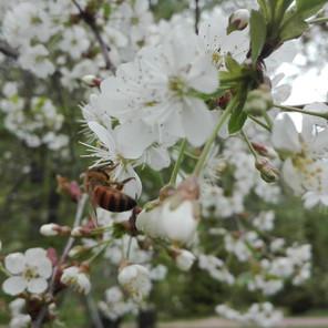 Kielomäki_kirsikankukka_mehiläinen