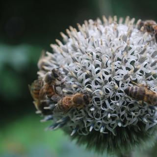 Kielomäki_valkopallo-ohdake_mehiläiset