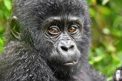 look gorillas in the eyes