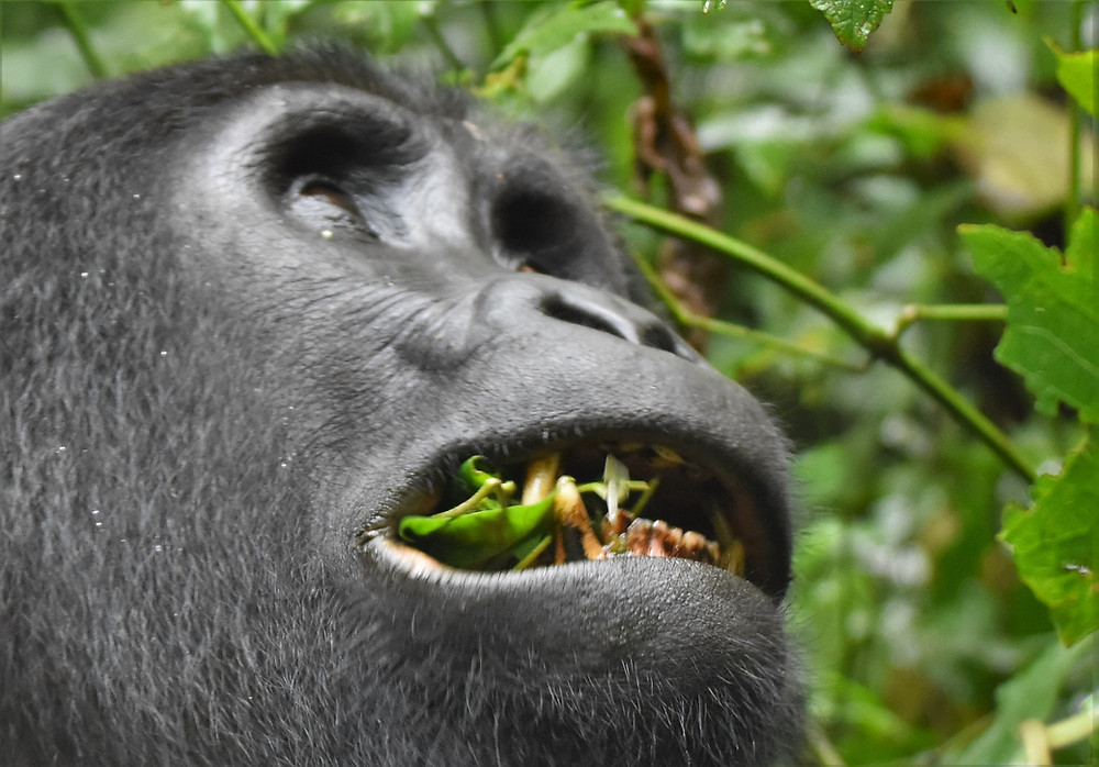 Gorillas are vegterians
