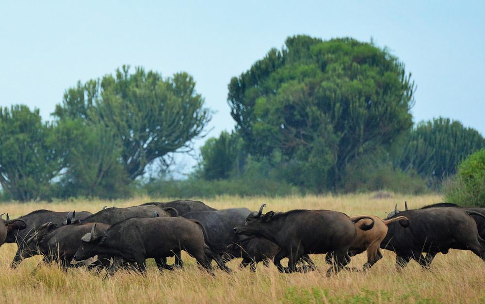 buffalo safari Uganda