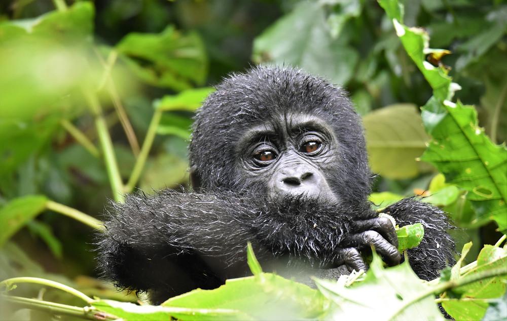 experience africa with a mountain gorilla safari