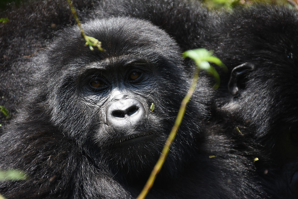 how long it takes to track Gorillas in the forest