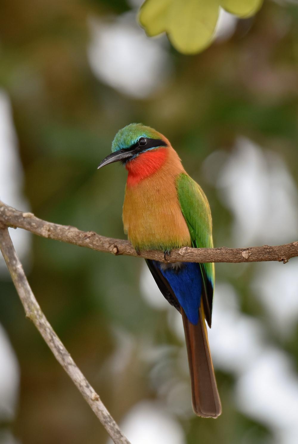 Uganda endemic birding safari