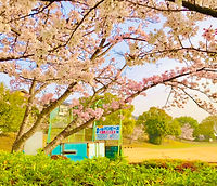運動公園 桜満開.jpg