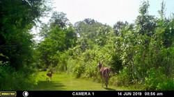Deer on walking trail