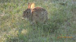 Cottontail bunny at bird feeders