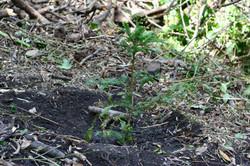 Redwood Grove Planting