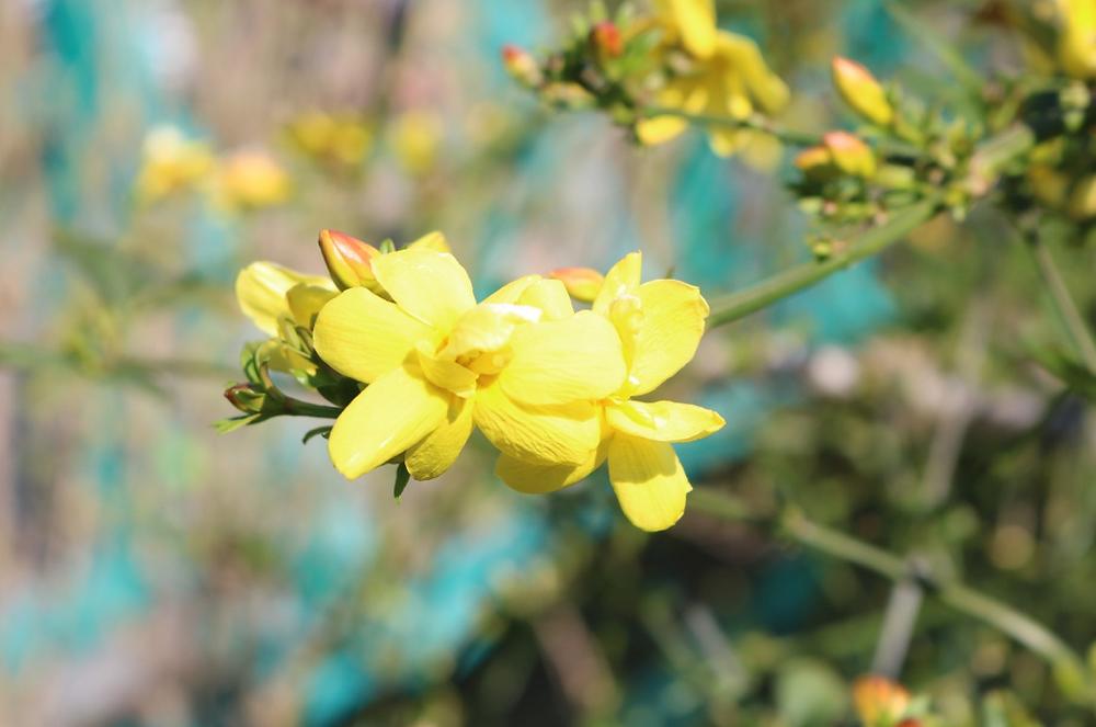 春に黄色く咲くウンナンオウバイ