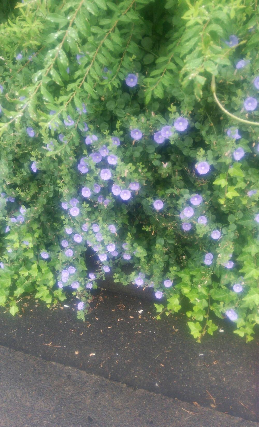 コンボルブルス - ガーデニング空花図鑑|剪定屋空