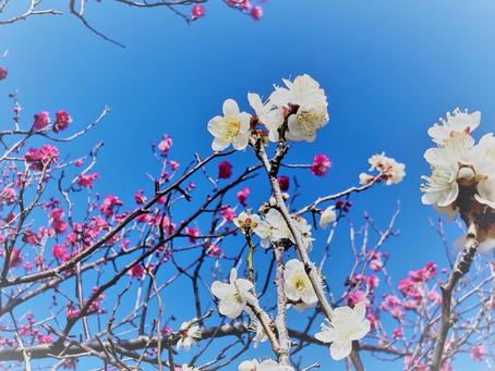万葉集にも登場する春告げ花 白梅「ハクバイ」