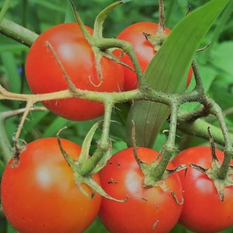 パワフルでかわいい夏の野菜「プチトマト」