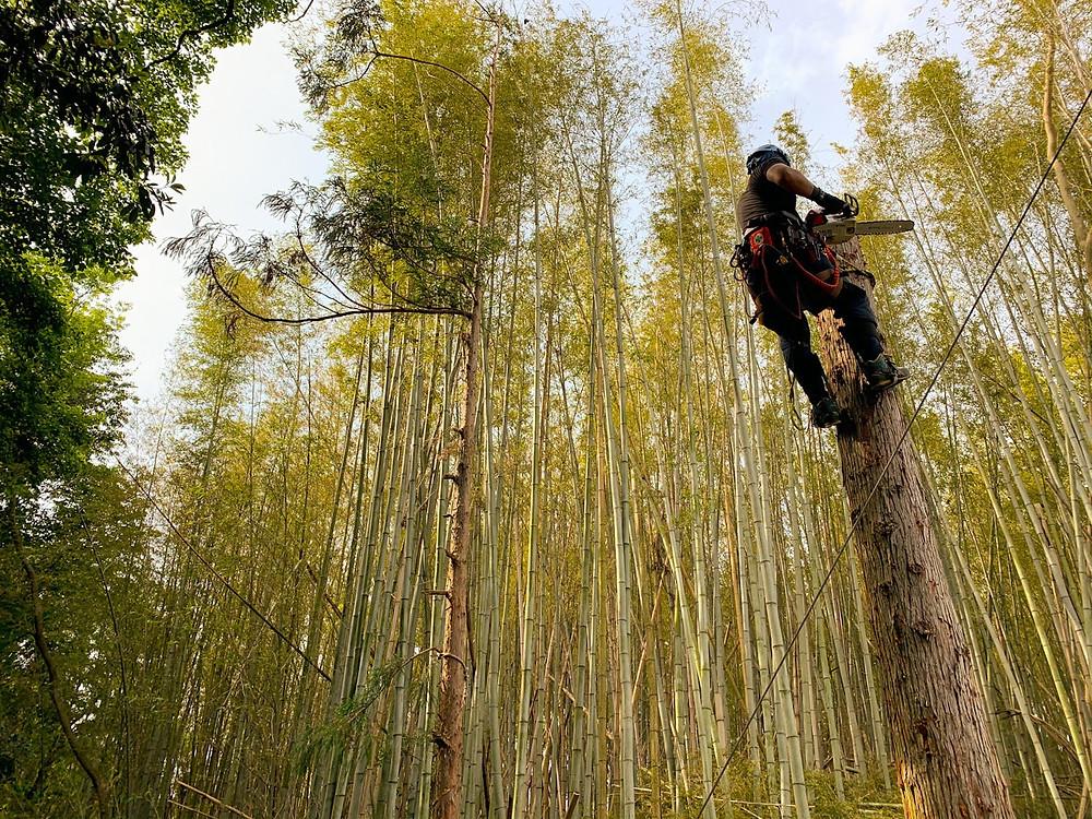 四日市 杉伐採作業