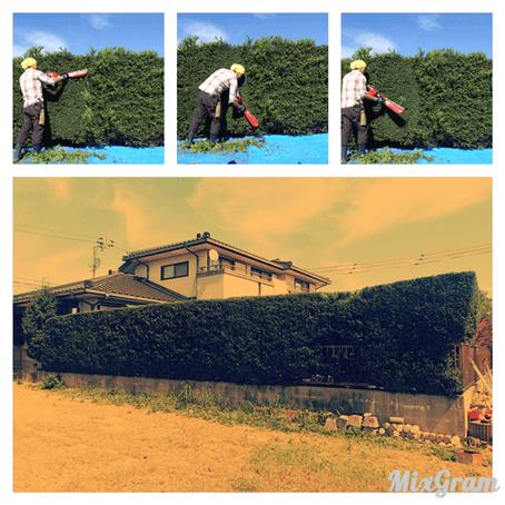 四日市庭木手入れ ツゲ生垣の刈り込み作業