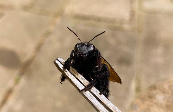 三重県 タイワンタケクマバチ
