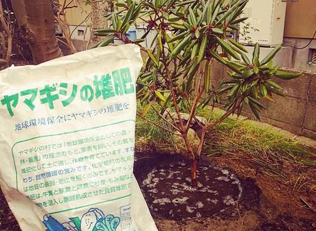 樹木移植|シャクナゲの移植作業